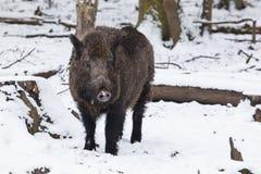 Wild boar in winter. Portrait of a male wild boar in a snowy white winter forest Stock Photography