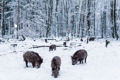 Wild boar in the winter forest. Royalty Free Stock Photo