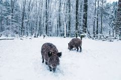 Wild boar in the winter forest. Royalty Free Stock Images