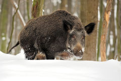 Wild boar in winter Stock Photos