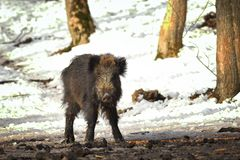 Wild boar at winter feeder Stock Photography
