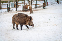 Wild boar in winter forest Stock Photography