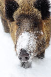 Wild boar. In winter forest Stock Images