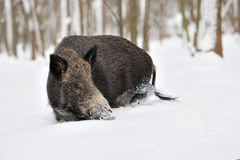 Wild boar in winter Royalty Free Stock Images