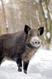 Wild boar in winter Royalty Free Stock Photos