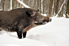 Wild boar in winter Stock Image