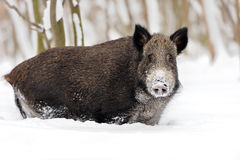 Wild boar in winter Royalty Free Stock Image