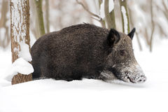 Wild boar in winter Stock Photo