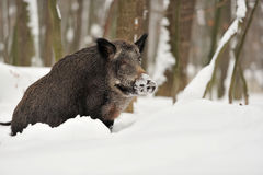 Wild boar in winter Stock Images