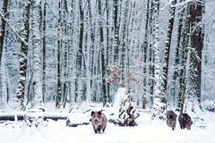 Wild boar in the winter forest. Stock Photos