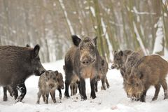 Wild boar Stock Photography