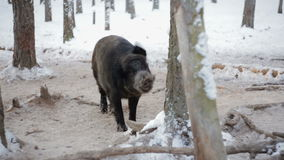 Wild boar in winter forest stock video footage
