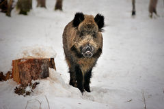 Wild boar in winter forest of in Reserve Bialowieza Forest. Wild boar on snow in Reserve Bialowieza Forest Stock Images