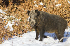 The wild-boar stock photo