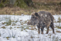 Wild boar in winter snow Royalty Free Stock Image