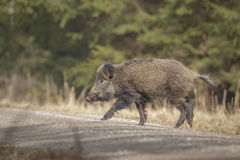 A wild boar in winter sun Stock Images