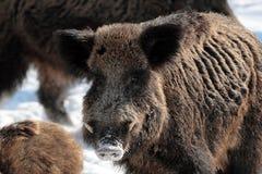 Wild boar in winter Royalty Free Stock Photos