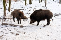 Wild Boar in Wintertime. Wild boar in wintry forest while feeding Stock Photo