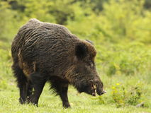 Wild Boar With Tusks Stock Image