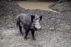 Wild boar in wood. Stock Photos