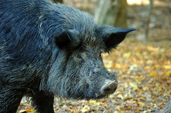 Wild boar in wood. Royalty Free Stock Image