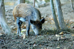 Wild boar in wood. Royalty Free Stock Photos