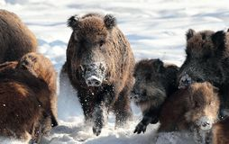 Wild boar with young baby boar. Wild-boar,sus scrofa in winter season in a forest and snow Royalty Free Stock Photo