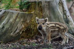 Wild boar, young boar Stock Image