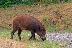 Wild boar (Sus scrofa) Royalty Free Stock Images