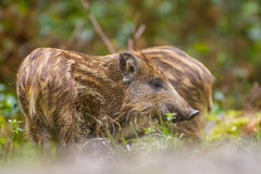Wild boar young in long grass. Wild boar young foraging in long grass in a Bavarian forest Royalty Free Stock Photos