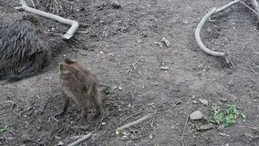 Wild boar. Young wild boar looking for food in the ground stock video footage