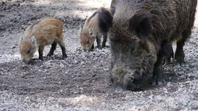 Wild boar and young stock footage
