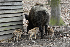 Wild boar with young pigs Royalty Free Stock Image