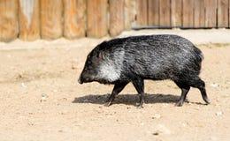 Wild boar in a zoo. Stock Photo