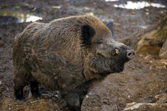 Wild boar at the zoo. captive animal Royalty Free Stock Image
