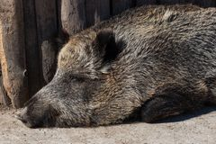 Wild boar in zoo. Wild boar in the zoo, closeup photo Royalty Free Stock Image