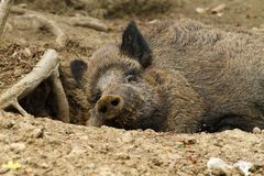 Wild boar at the zoo Royalty Free Stock Photography