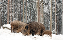 Wild-boars Stock Photography