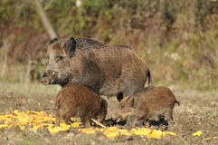 Wild boars. Wild boar family eat corn Stock Photos