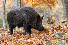 Wild-boars Stock Images