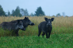 Free Wild Boars Royalty Free Stock Image - 21564186