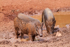 Wild boars Stock Photos