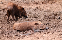 Wild boars Royalty Free Stock Image