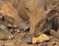 Wild boars. Wild boar male close-up on a frosty morning Royalty Free Stock Image