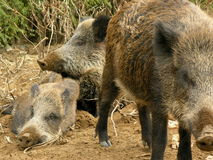 Wild boars Royalty Free Stock Photo