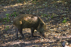Wild boars in the Black Forest_Baden Baden, Germany Stock Images