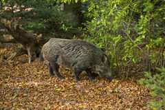 Wild boars in the Black Forest_Baden Baden, Germany Royalty Free Stock Images