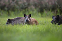 Wild boars in a clearing Royalty Free Stock Photo