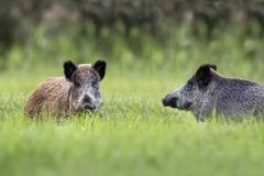 Wild boars in a clearing royalty free stock image