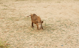 Wild boars Royalty Free Stock Images